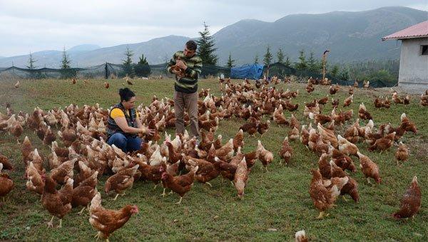 yumurta tavukçuluğuna hibe