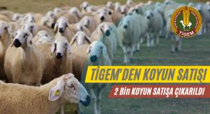 tigem_satilik_koyun