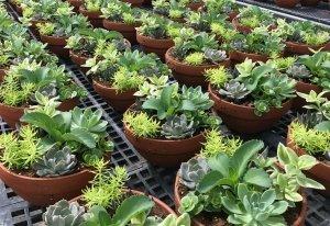 ipard hibesi süs bitkileri